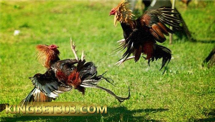 Deposit Sabung Ayam S128