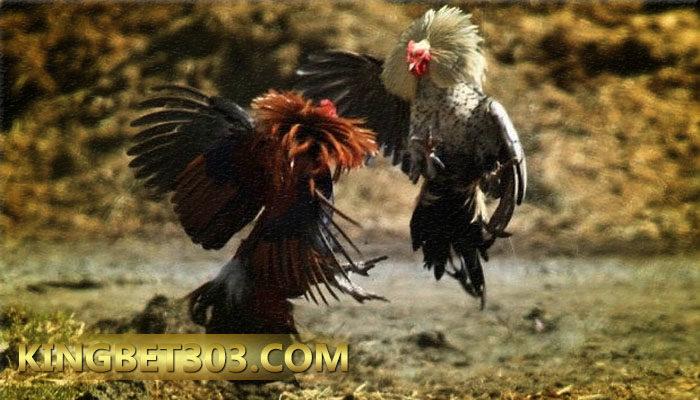 Situs Sabung Ayam S128 Terpercaya